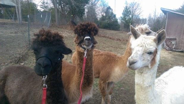 alpacas with halters