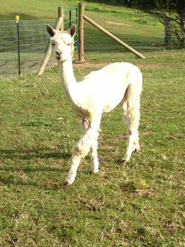 stormy right after being sheared